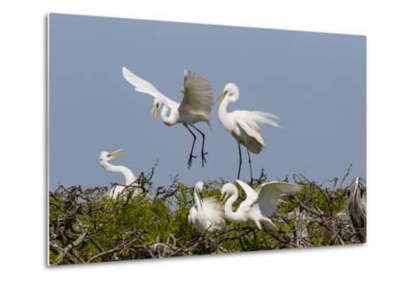 Calhoun County, Texas. Great Egret at Colonial Nest Colony-Larry Ditto-Metal Print