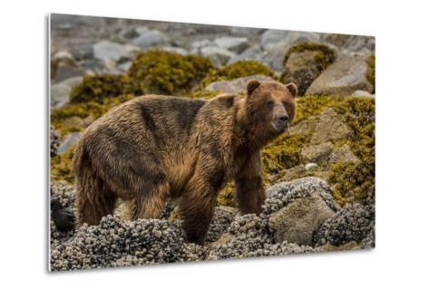 Alaska, Glacier Bay National Park. Brown Bear on Beach-Jaynes Gallery-Metal Print