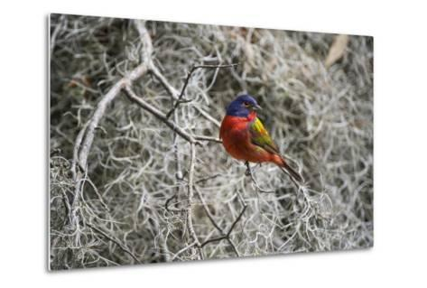 Painted Bunting, Little St Simons Island, Barrier Islands, Georgia-Pete Oxford-Metal Print