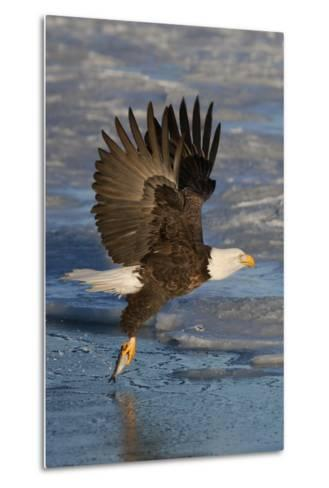 Bald Eagle Catchs a Fish in it's Talons-Hal Beral-Metal Print