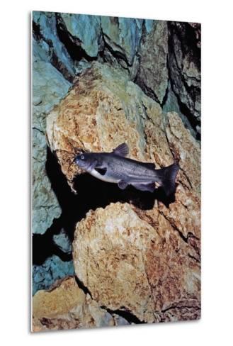 White Catfish (Ameiurus Catus), Crystal River, Florida, USA-Reinhard Dirscherl-Metal Print