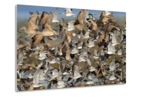 Large Flock of Shore Birds Takes Off-Hal Beral-Metal Print