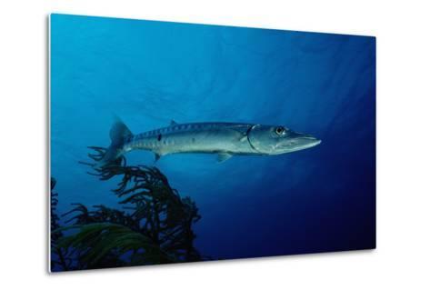 Great Barracuda (Sphyraena Barracuda)-Reinhard Dirscherl-Metal Print