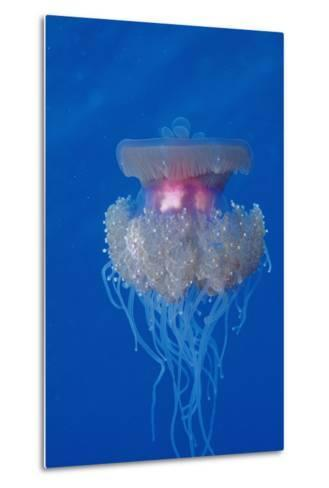 Crown Jellyfish (Netrostoma Setouchina), Red Sea, Egypt.-Reinhard Dirscherl-Metal Print