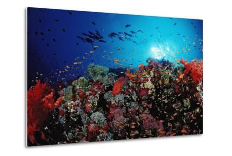 Coral Grouper and Reef, Cephalopholis Miniata, Sudan, Africa, Red Sea-Reinhard Dirscherl-Metal Print