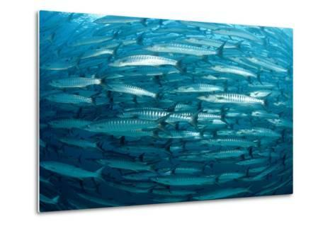 Blackfin Barracuda (Sphyraena Qenie) Pacific Ocean-Reinhard Dirscherl-Metal Print