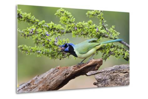 Starr County, Texas. Green Jay, Cyanocorax Yncas, Eating Acorn-Larry Ditto-Metal Print
