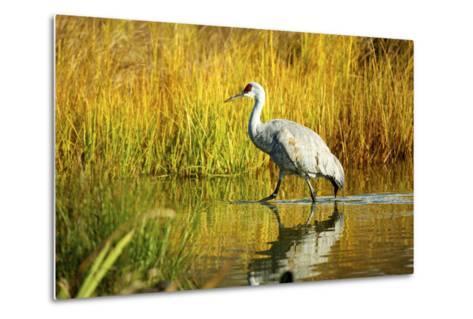 Sandhill Crane, Grus Canadensis, Stalking in Marsh-Richard Wright-Metal Print