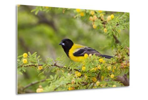 Santa Clara Ranch, Starr County, Texas. Audubons Oriole Perched-Larry Ditto-Metal Print