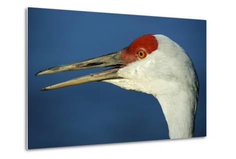 Sandhill Crane, Grus Canadensis with Beak Open in Call-Richard Wright-Metal Print