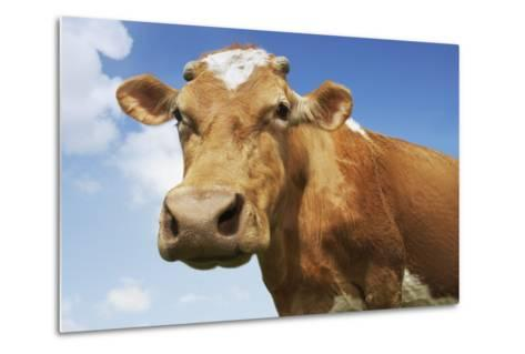 Close-Up Low Angle View of Brown Cow Against Blue Sky--Metal Print
