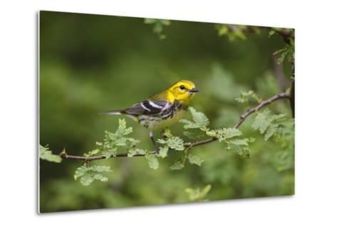 South Padre Island, Texas. Black Throated Green Warbler Feeding-Larry Ditto-Metal Print
