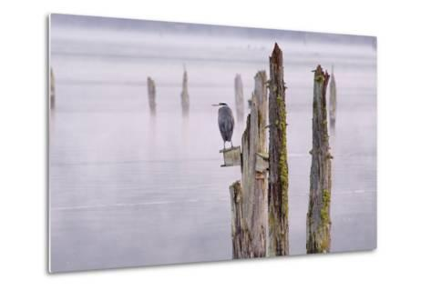 Canada, B.C, Vancouver Island. Great Blue Heron on an Old Piling-Kevin Oke-Metal Print