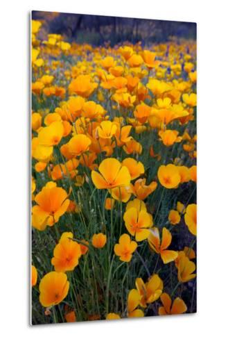 Poppies, Bloom in the Sonoran Desert, Tucson, Arizona-Susan Degginger-Metal Print