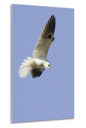White-Tailed Kite Hunting-Hal Beral-Metal Print