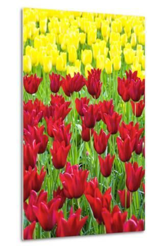 Tulips at KeUKenhof Gardens, Duin- En Bollenstreek, the Netherlands-Nadia Isakova-Metal Print