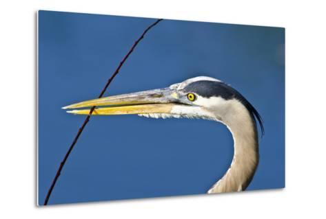 Florida, Venice, Great Blue Heron Holding Nest Material in Beak-Bernard Friel-Metal Print