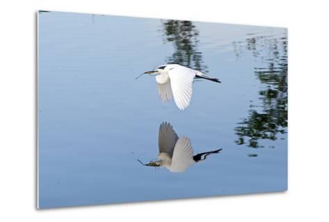 Florida, Venice, Audubon Sanctuary, Common Egret Flying-Bernard Friel-Metal Print