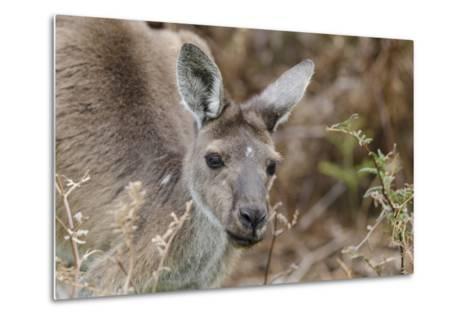 Western Australia, Perth, Yanchep National Park. Western Gray Kangaroo Close Up-Cindy Miller Hopkins-Metal Print