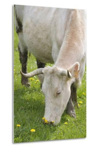 France, Burgundy, Nievre, Sardy Les Epiry. Cow Eating Grass-Kevin Oke-Metal Print