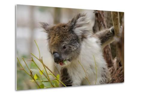 Australia, Perth, Yanchep National Park. Koala Bear a Native Arboreal Marsupial-Cindy Miller Hopkins-Metal Print