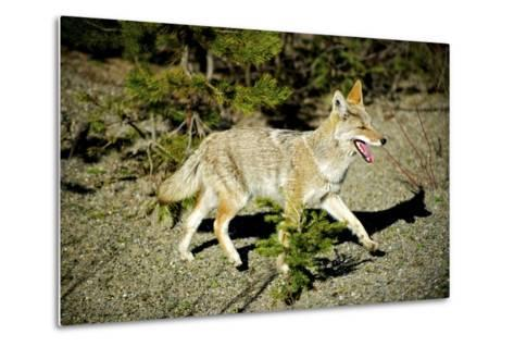 A Coyote, Searches for Prey in the Cariboo Mts of B.C., Canada-Richard Wright-Metal Print