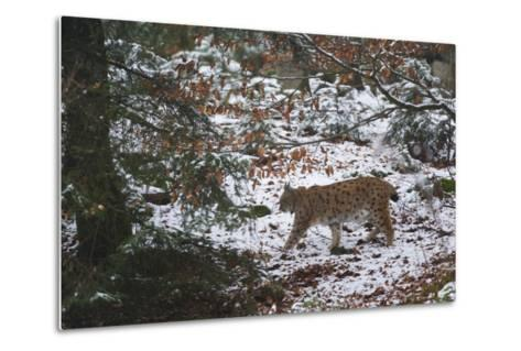European Lynx (Lynx Linx), Bavarian Forest National Park.-Sergio Pitamitz-Metal Print