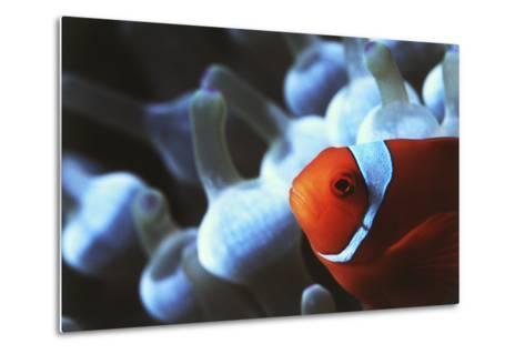 Indo Ocean, Close Up View of Spinecheek Anemonefish-Stuart Westmorland-Metal Print