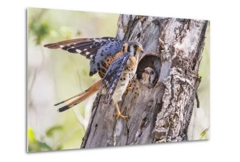 USA, Wyoming, American Kestrel Male at Cavity Nest with Nestling-Elizabeth Boehm-Metal Print
