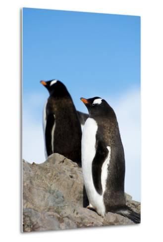 Antarctica. Neko Harbor. Gentoo Penguin, Pygoscelis Papua, Colony-Inger Hogstrom-Metal Print