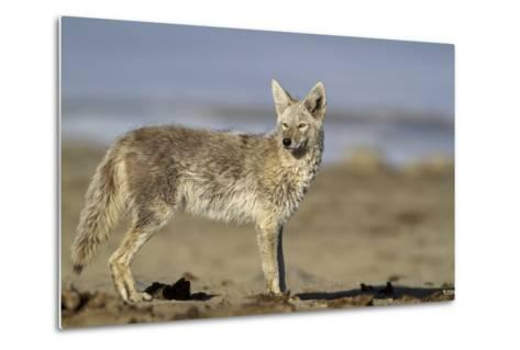 USA, Wyoming, Coyote Standing on Beach-Elizabeth Boehm-Metal Print