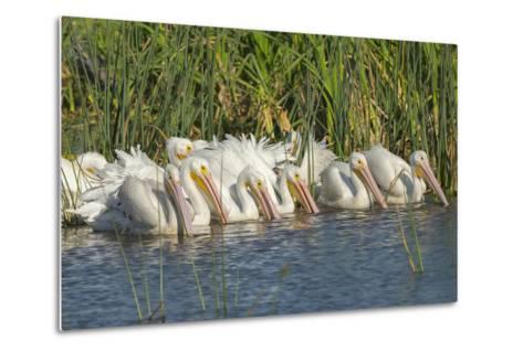 White Pelicans in Line to Begin Feeding, Viera Wetlands, Florida-Maresa Pryor-Metal Print