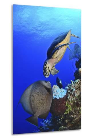 Hawksbill Sea Turtle and Gray Angelfish Share a Special Moment-Stocktrek Images-Metal Print