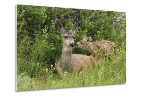 Mule Deer Doe with Fawn-Ken Archer-Metal Print