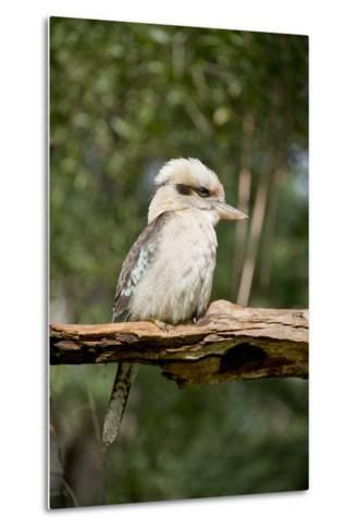 Australia. Dandenong, Grants Reserve. Kingfisher Laughing Kookaburra-Cindy Miller Hopkins-Metal Print