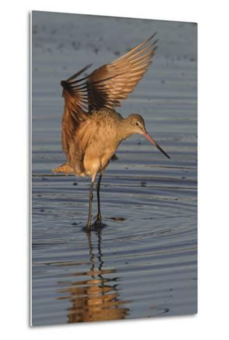 Marbled Godwit with Raised Wings-Hal Beral-Metal Print