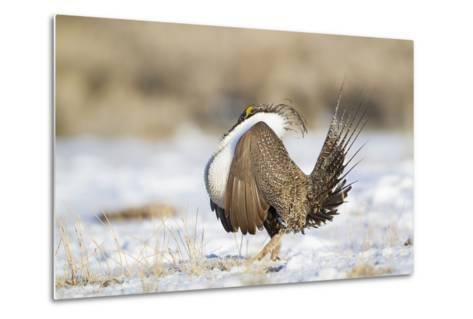 USA, Wyoming, Greater Sage Grouse Strutting on Lek in Snow-Elizabeth Boehm-Metal Print