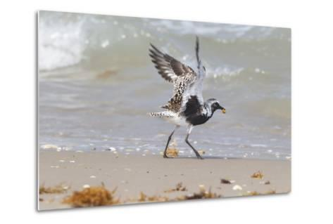 South Padre Island, Texas. Black Bellied Plover with Meal-Larry Ditto-Metal Print