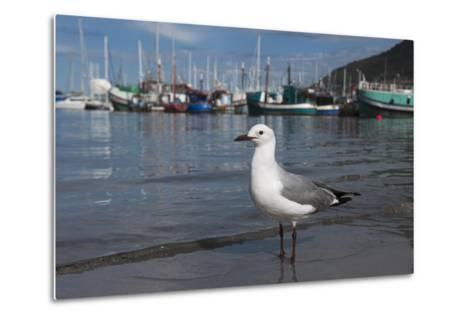 Hartlaubs Gull, Hout Bay Harbor, Western Cape, South Africa-Pete Oxford-Metal Print