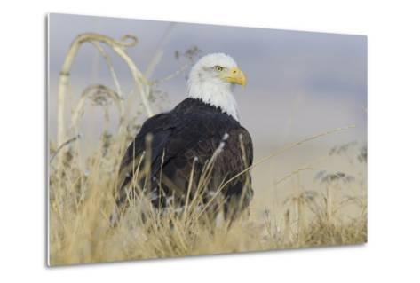 Bald Eagle on the Ground-Ken Archer-Metal Print