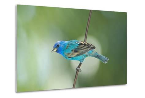 North America, USA, Florida, Immokalee, Indigo Bunting Perched on Wire-Bernard Friel-Metal Print