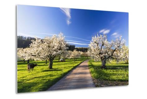 Cherry Orchard in Bloom-Frank Lukasseck-Metal Print