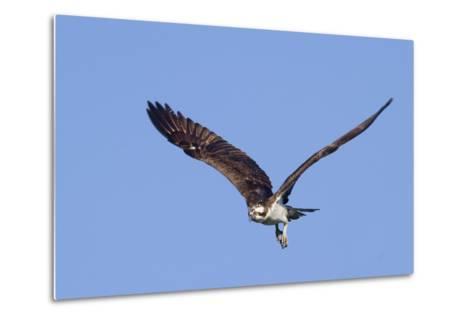 Osprey Takes Off-Hal Beral-Metal Print