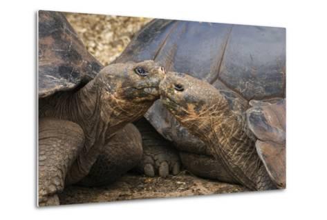 South America, Ecuador, Galapagos Islands. Two Giant Male Tortoises-Jaynes Gallery-Metal Print