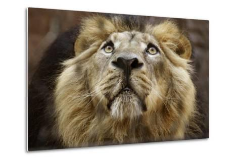A Lion in Captivity Looking Up--Metal Print