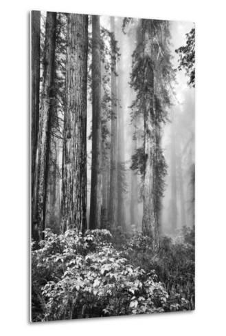 Redwood Trees in Morning Fog with Sunrays-Terry Eggers-Metal Print
