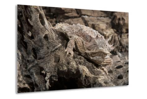 Arizona, Madera Canyon. Close Up of Regal Horned Lizard-Jaynes Gallery-Metal Print
