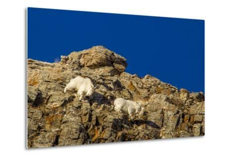 Billy Mountain Goats in Winter Coat in Glacier National Park, Montana, USA-Chuck Haney-Metal Print