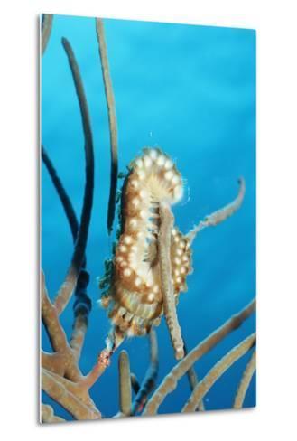 Bearded Fireworm, Hermodice Carunculata, Netherlands Antilles, Bonaire, Caribbean Sea-Reinhard Dirscherl-Metal Print