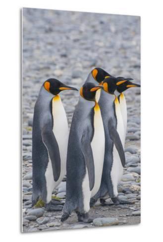 South Georgia. King Penguins Walking on the Beach-Inger Hogstrom-Metal Print